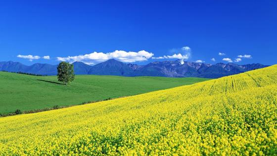 Rape flowers sea wallpaper