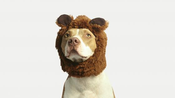 Pit Bull Terrier in a bear cap wallpaper