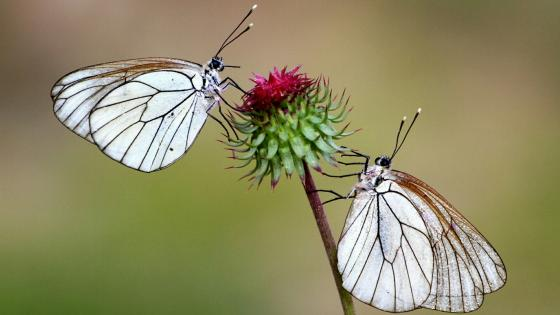 Two butterfly romance wallpaper