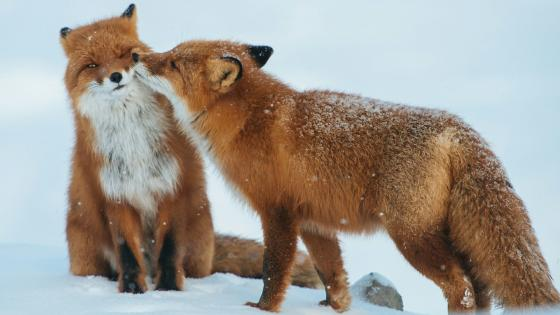 Fox kiss wallpaper