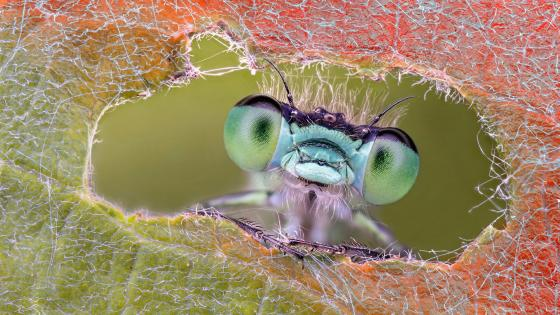 Pest macro photography wallpaper