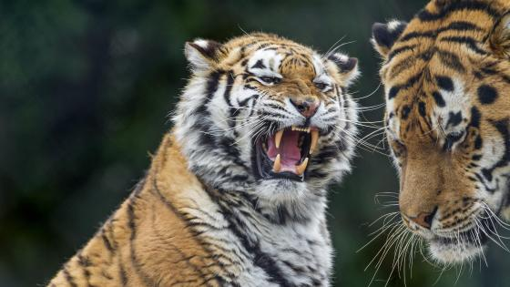 Tiger roar wallpaper
