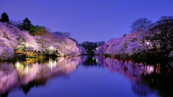 Japan cherry blossom wallpaper