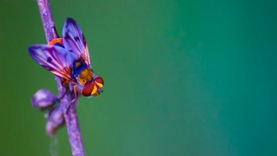 Fly macro photo wallpaper