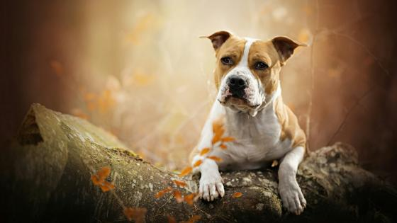 American Staffordshire Terrier wallpaper