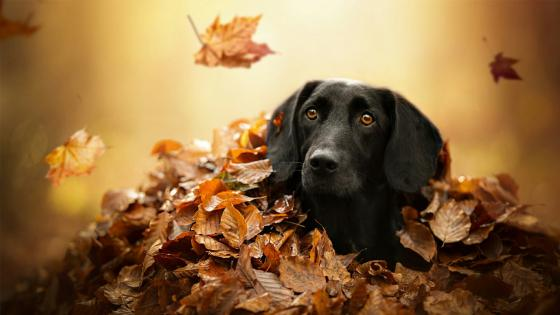 Black labrador retriever wallpaper