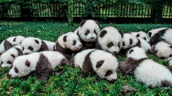 Cute panda babies wallpaper