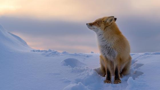 Beautiful red fox in the snow wallpaper