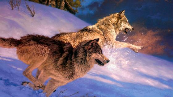 Angry wolves chase in the snow wallpaper