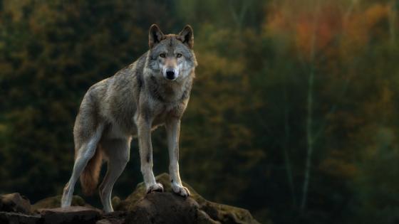 Wolfy wallpaper