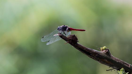 Crimson Tailed Marsh Hawk Dragonfly wallpaper