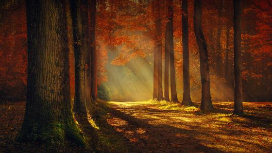 Sunlight through the autumn forest wallpaper