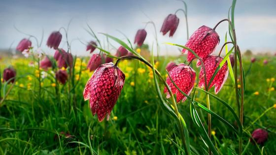 Snake's head (Fritillaria meleagris) wallpaper