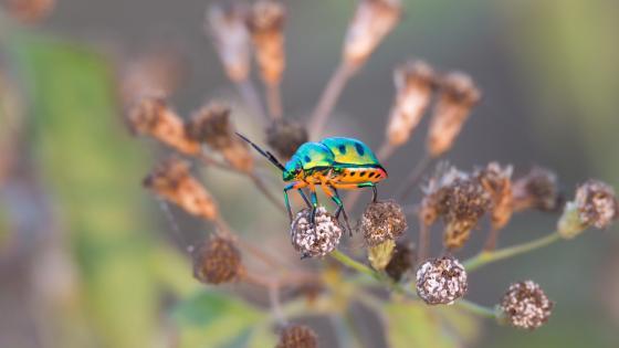 Jewel Bug wallpaper