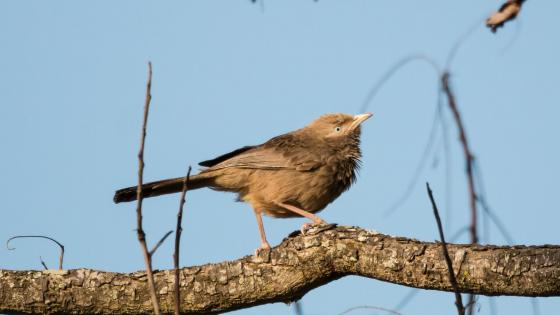 Yellow Billed Babbler wallpaper