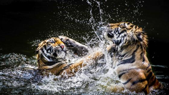 Tiger fight wallpaper