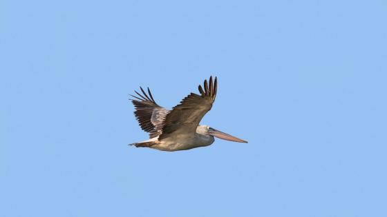 Spot Billed Pelican wallpaper