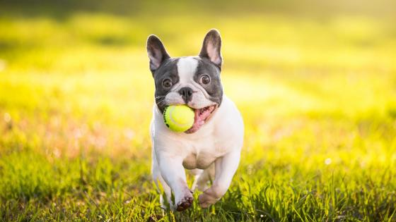 French Bulldog with tennis ball wallpaper