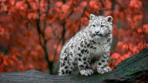 Snow leopard cub wallpaper