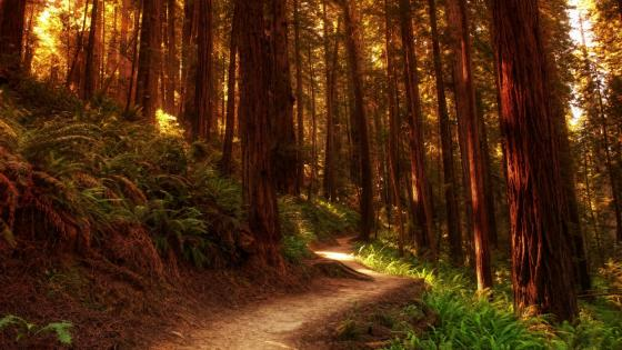 Redwood forest path wallpaper