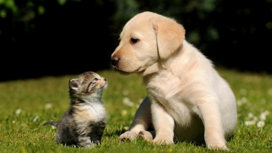 Labrador Retriever puppy with a kitten wallpaper