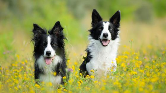 Two border Collie dogs wallpaper