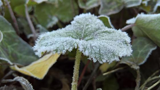 Frozen leaf wallpaper
