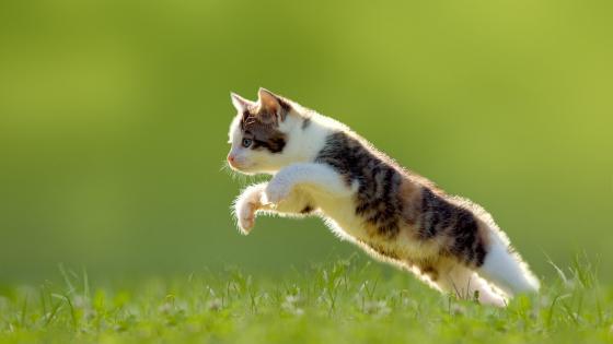 Kitten jumps over a meadow wallpaper