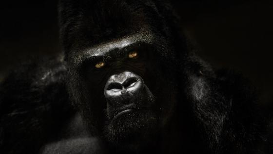 Gorilla portrait wallpaper