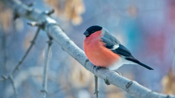 Bullfinch wallpaper