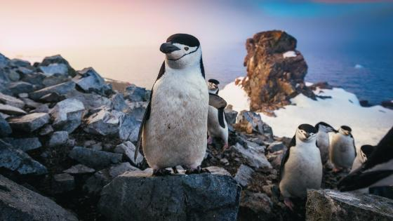Chinstrap penguins wallpaper