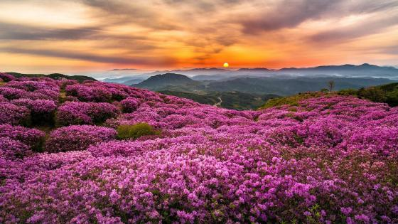 Azalea blossom at Wugong Mountains (China) wallpaper