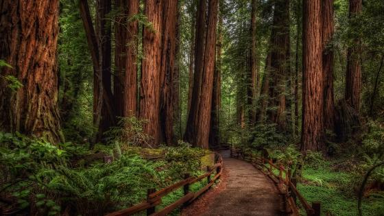 Muir Woods National Monument wallpaper