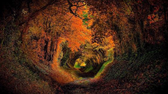 Halnaker magical tunnel of trees, England wallpaper