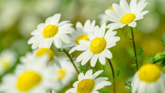 chamomile flower wallpaper