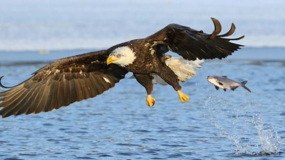 Bald Eagle and a fish wallpaper