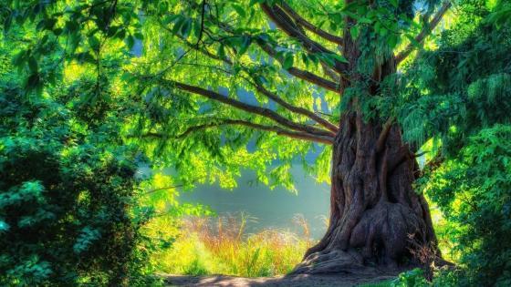 Lakeside old tree wallpaper