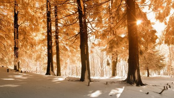 Snowy forest in the yellow sunlight wallpaper
