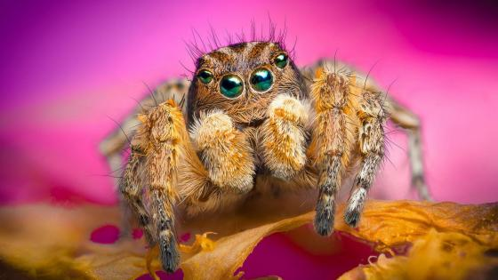 Jumping spider macro photo wallpaper