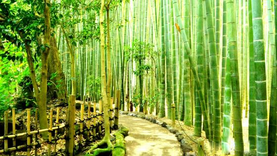 Bamboo Forest in Kamakura, Japan wallpaper