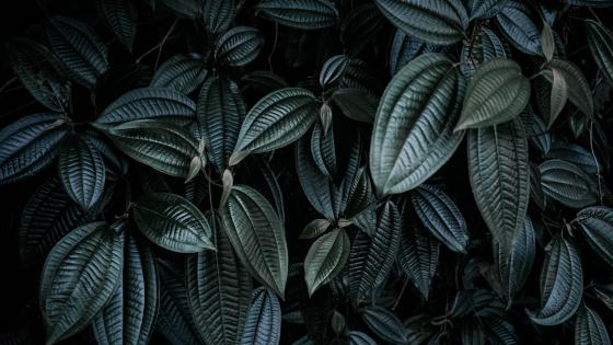 Dark green leaves wallpaper