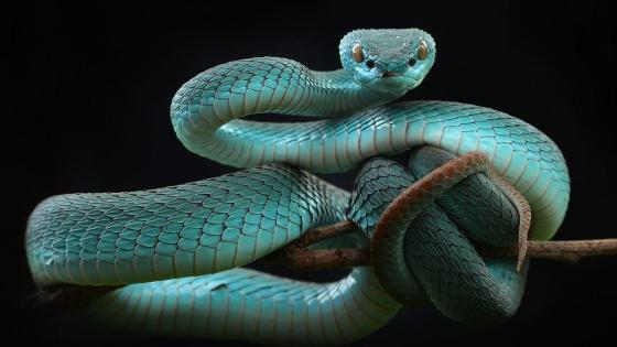 White Lipped Tree Viper (Trimeresurus albolabris insularis) wallpaper