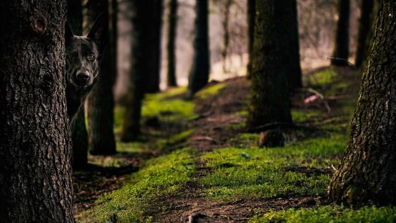 Black German Shepherd in the forest wallpaper