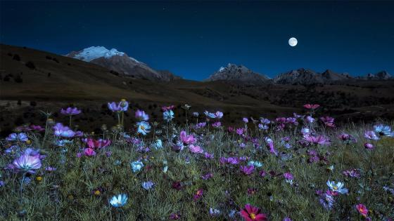 Huge field of Cosmos Flowers in the Moonlight wallpaper