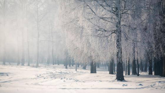 Foggy frozen forest wallpaper