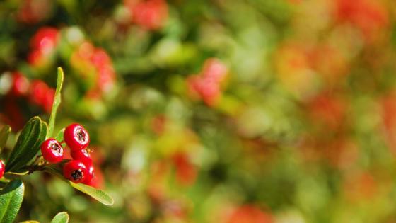 Red berries wallpaper