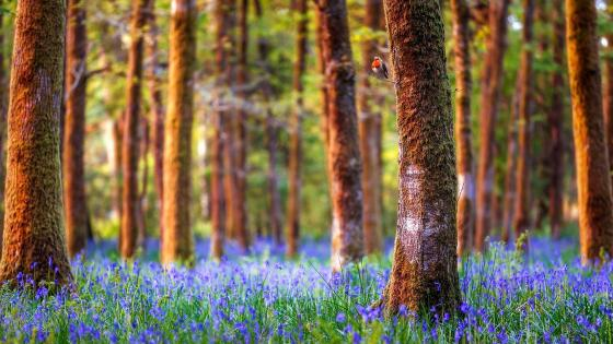 Blue flower carpet in the woods wallpaper