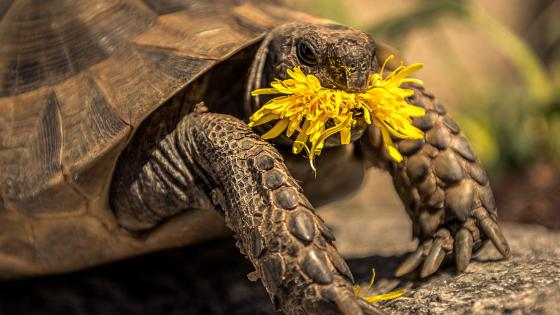 Turtle eating Dandelion flower wallpaper