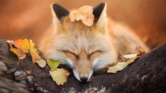 Fox sleeps in the autumn leaves wallpaper
