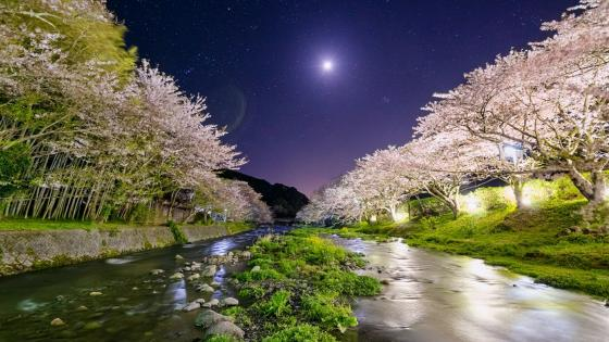 Japan cherry blossom over Nakagawa River at night wallpaper
